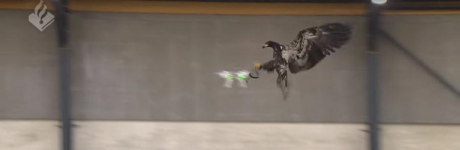 Mesures de sécurité anti-drones : les Pays-Bas misent sur les aigles