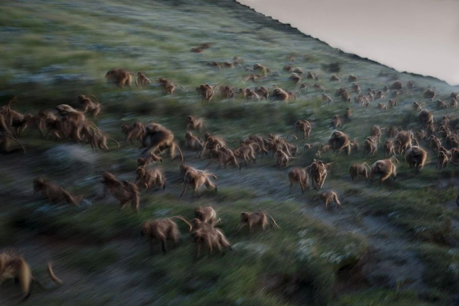03-best-17-gelada-baboons-monkeys-guassa-ethiopia-evening-running-cliffs.adapt.1900.1.jpg