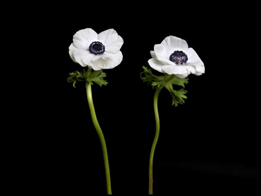 01-anemone-blanche-139-2-marg.jpg
