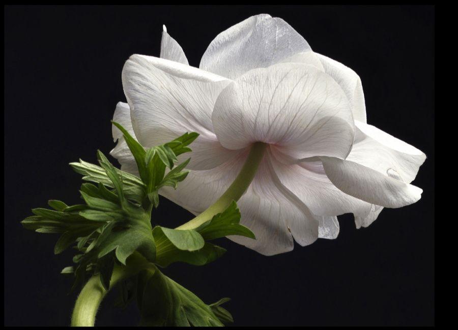 01-anemone-blch-119-2.jpg