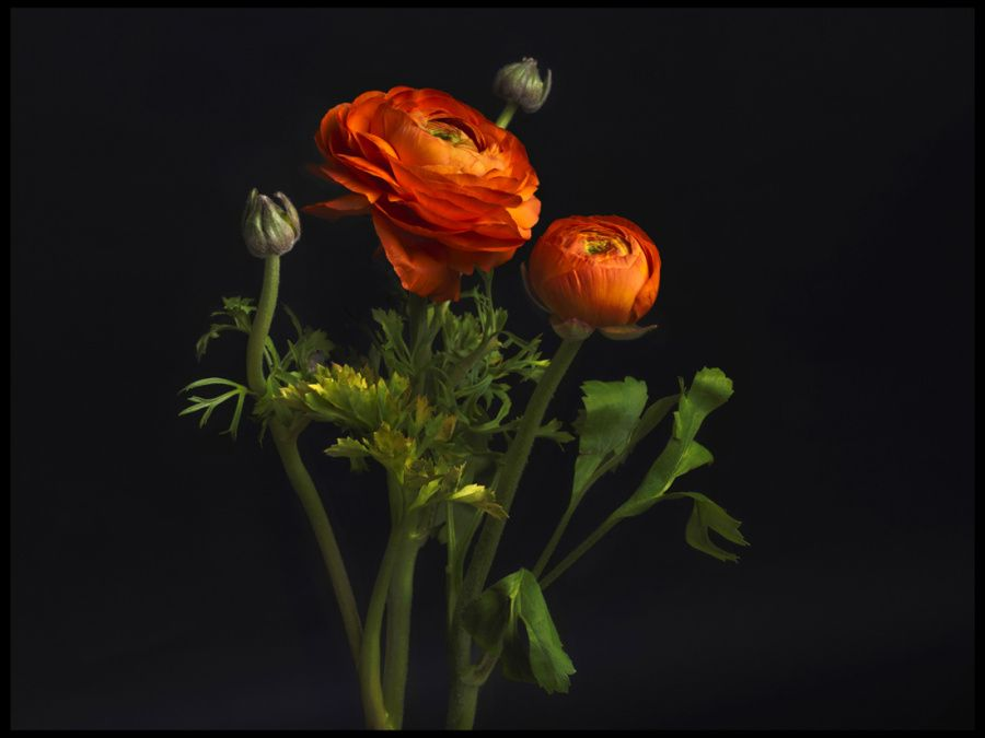01-renoncule-orange-063-marg-2.jpg