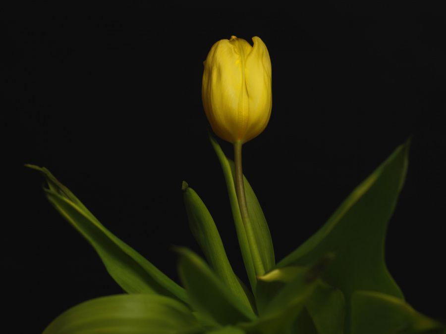 02-tulipe-jaune-099-f.jpg