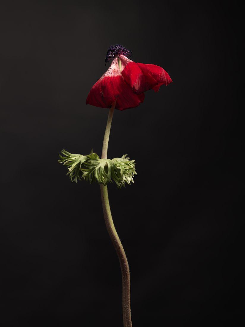 10-anemone-rouge-346.jpg