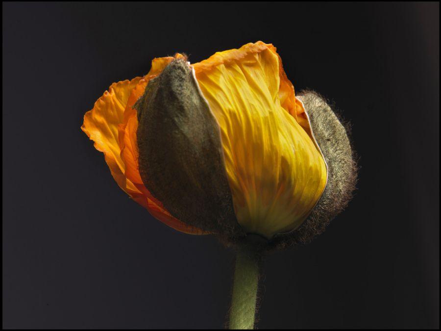 11-pavot-orange-098-2-marg.jpg